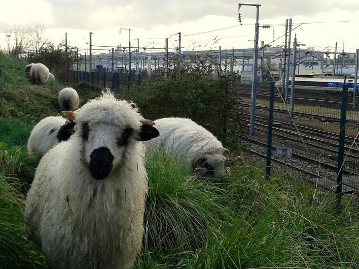 Mouton train