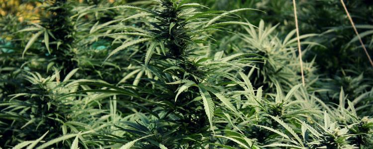 Cannabis Circus : l'émission de radio hebdomadaire consacrée à la weed