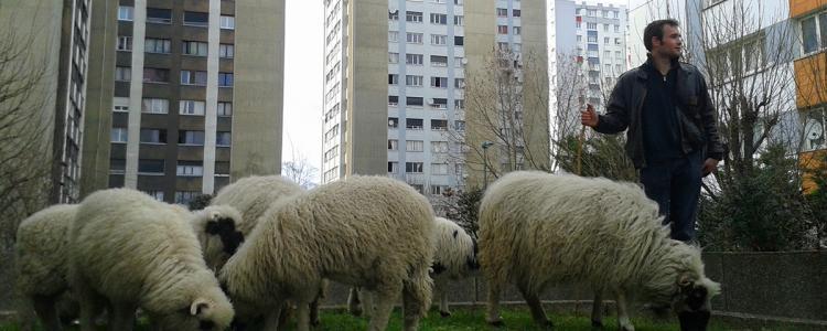 Pour quelques dollars de plus: des moutons dans le 9-3